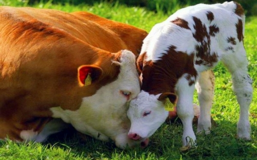 cow-and-calf-love-720x450