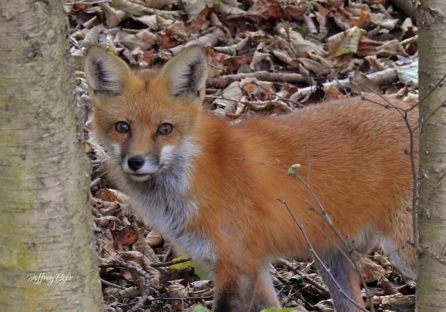RED FOX (Oct 2018 Near Sugargrove PA)
